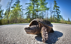 A tortoise crosses a road.
